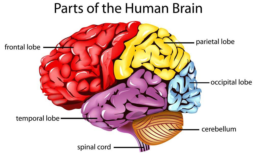 آسیب و کارکردهای لوب های مغزی