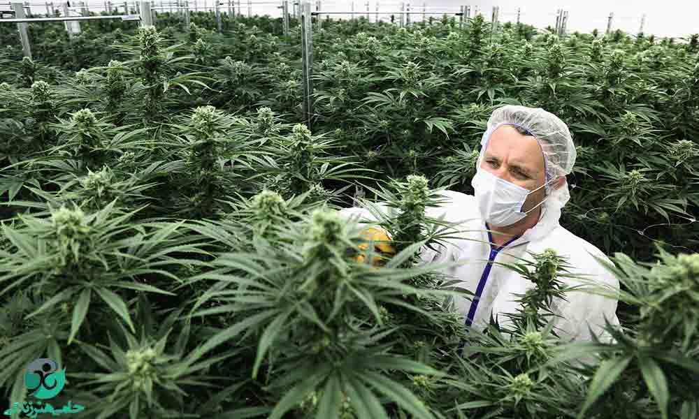 ماری جوانا صنعتی | آیا چشم سوم با مصرف ماریجوانا حقیقت دارد؟