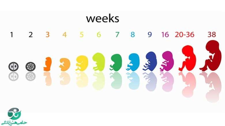 تغییرات جنین در مراحل مختلف   مراحل شکل گیری جنین