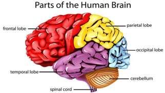 لوب های مغز | کارکرد ها و آسیب در لوب های مغزی